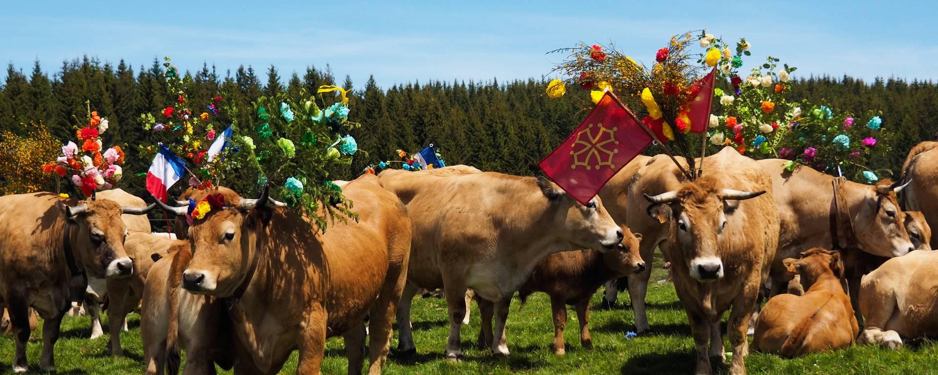 Un troupeau de vaches aubracs lors de la transhumance annuelle.