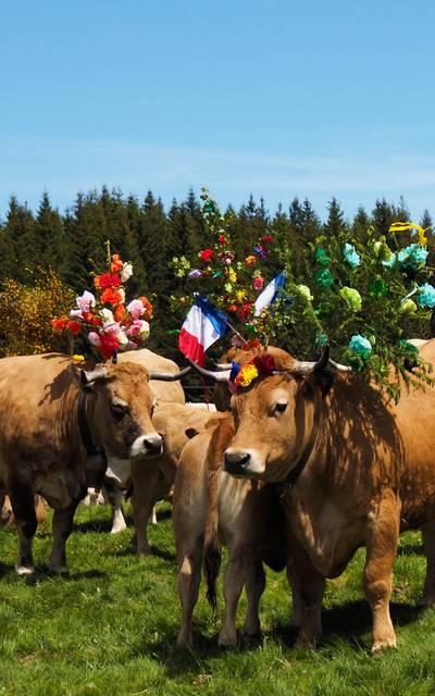 un troupeau de vaches lors de la Transhumance.