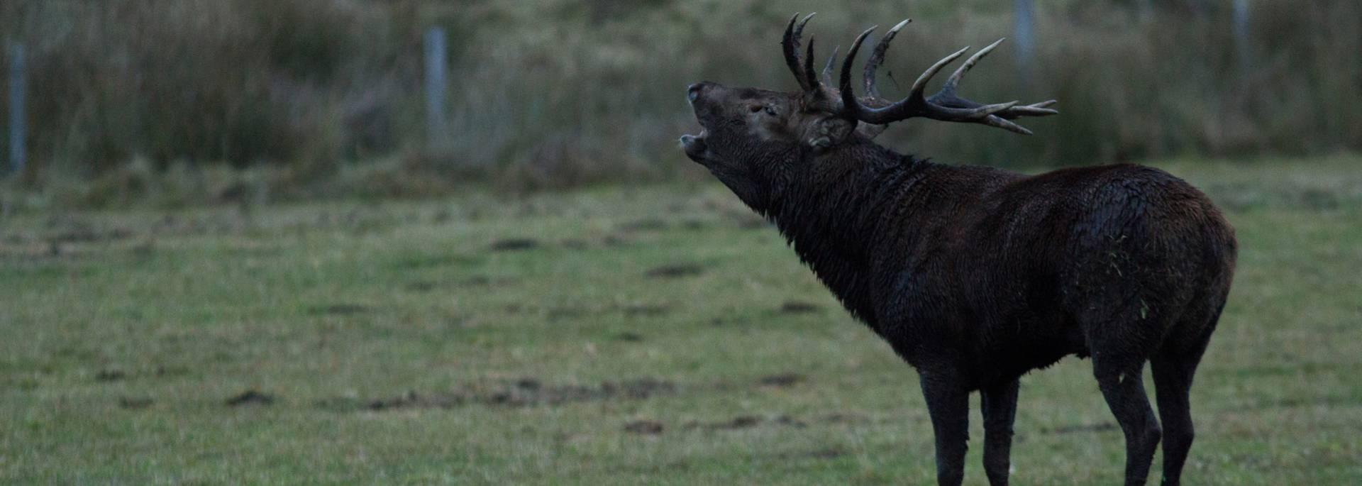 The roar of the deer in Lozére on Aubrac plateau