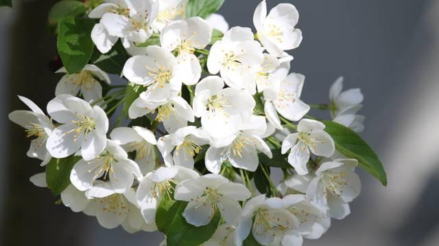 aupénines fleurs