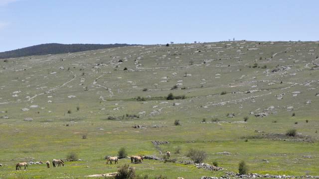 Un troupeau de chevaux de Przewalski sur le Causse Méjean.