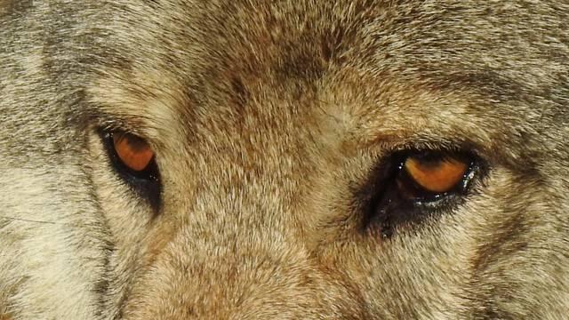 Un loup aux Loups du Gévaudan.