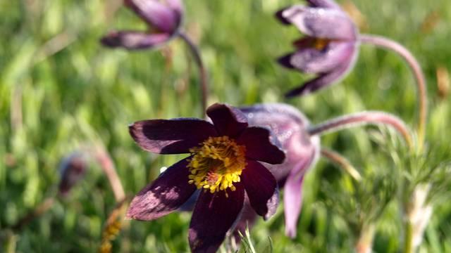 Une fleur sur le Causse de Sauveterre.