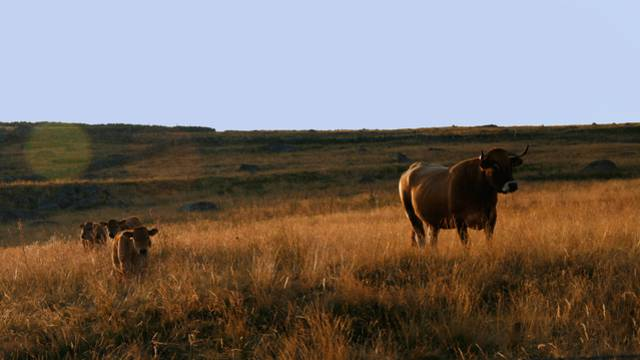 The Aubrac cow