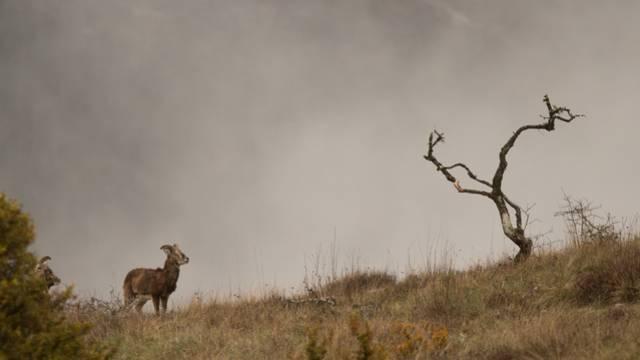 Un mouflon sur le Causse.