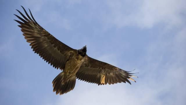 Un vautour percnoptère