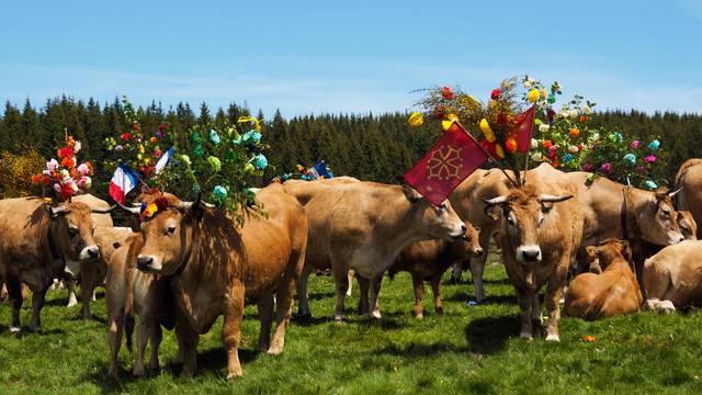 Des vaches décorées à l'occasion de la transhumance.