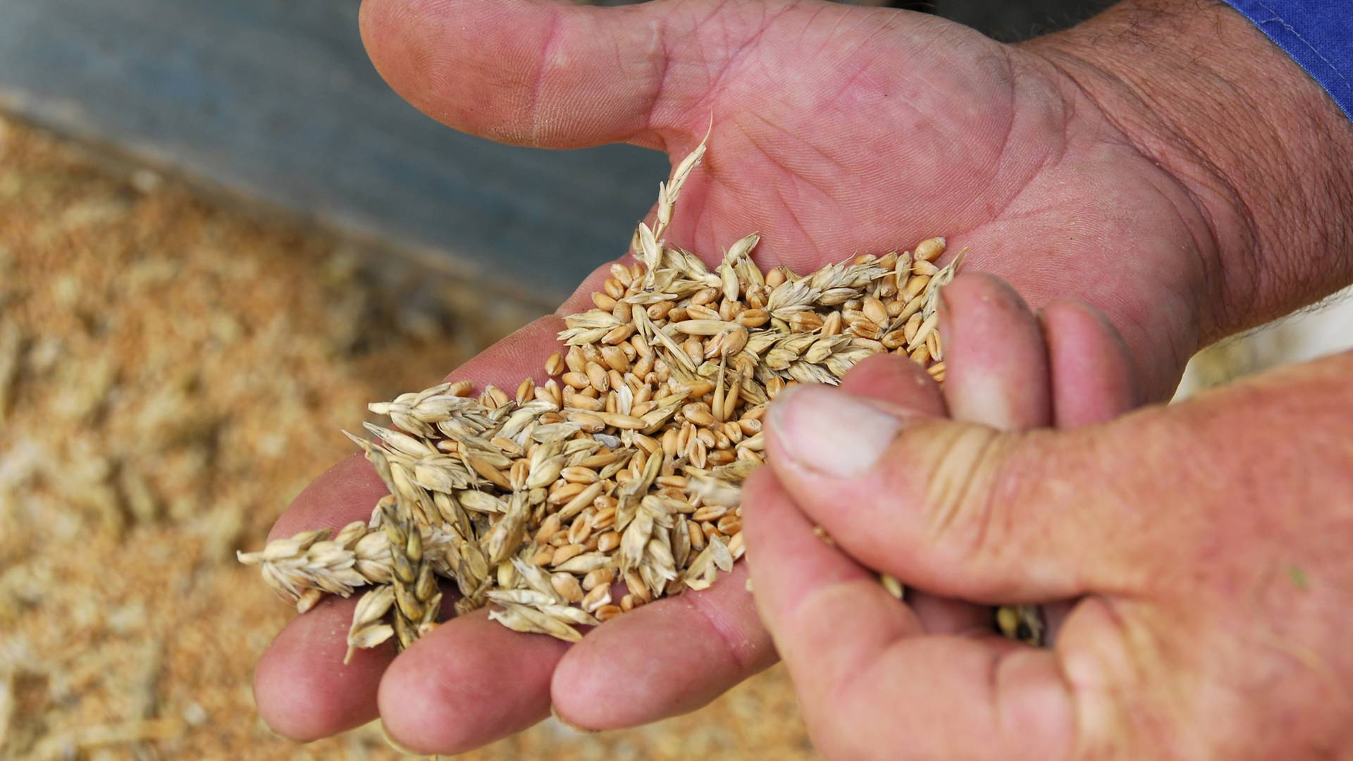 Cereals harvested on the Causse in Lozere.