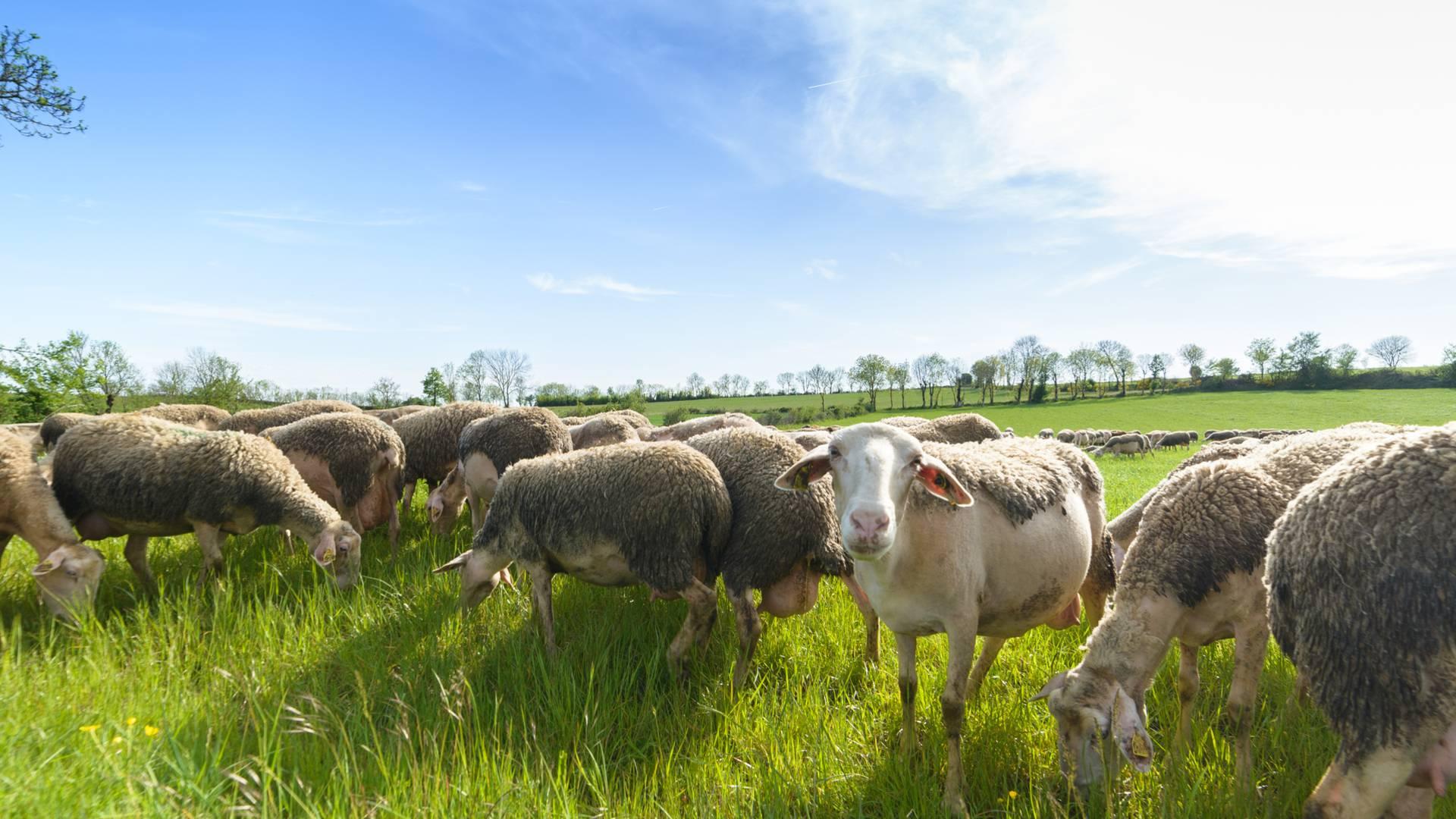 Un troupeau de brebis sur les Grands Causses