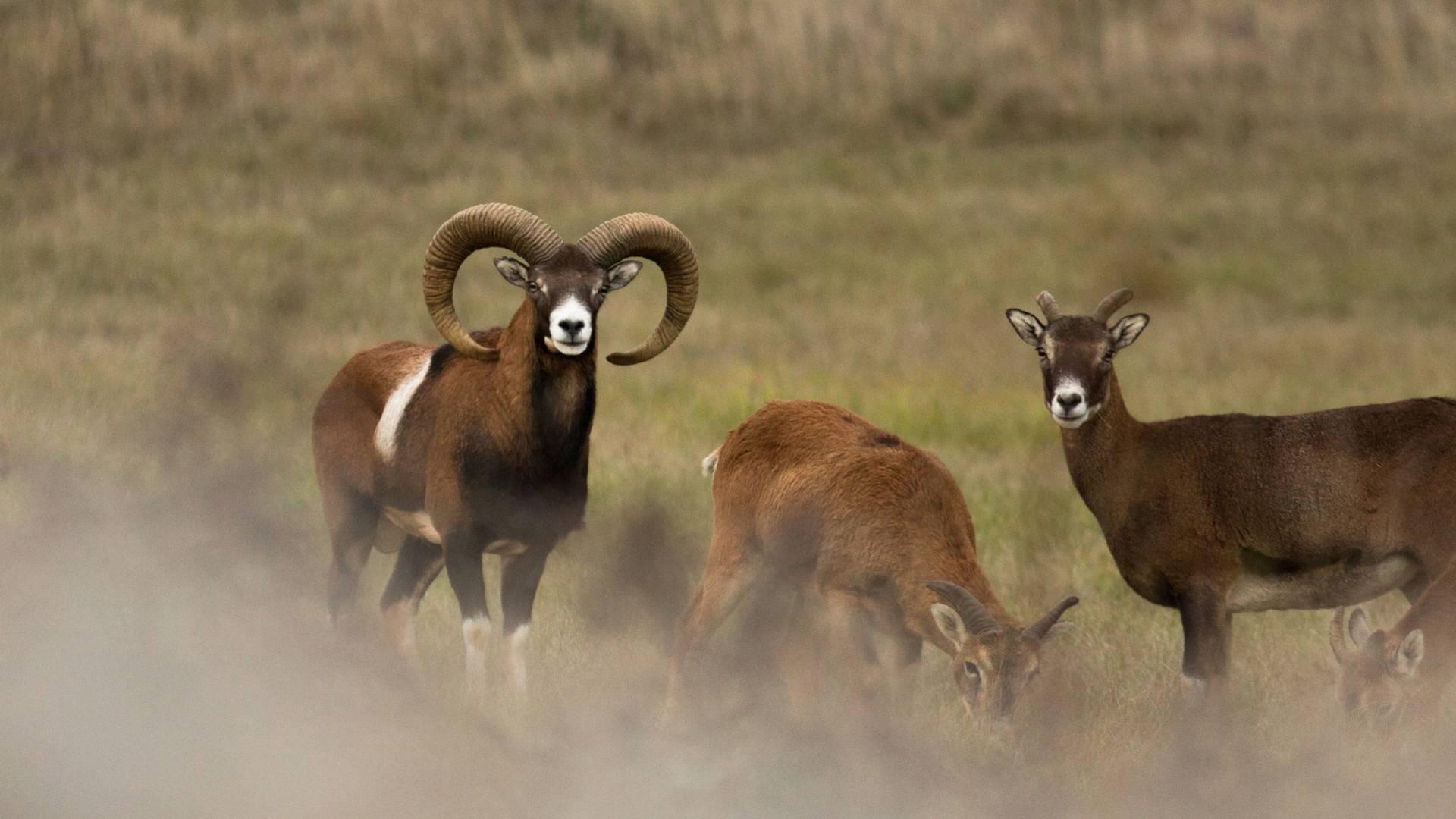 Des mouflons, habitants des Causses qui bordent les Gorges du Tarn.