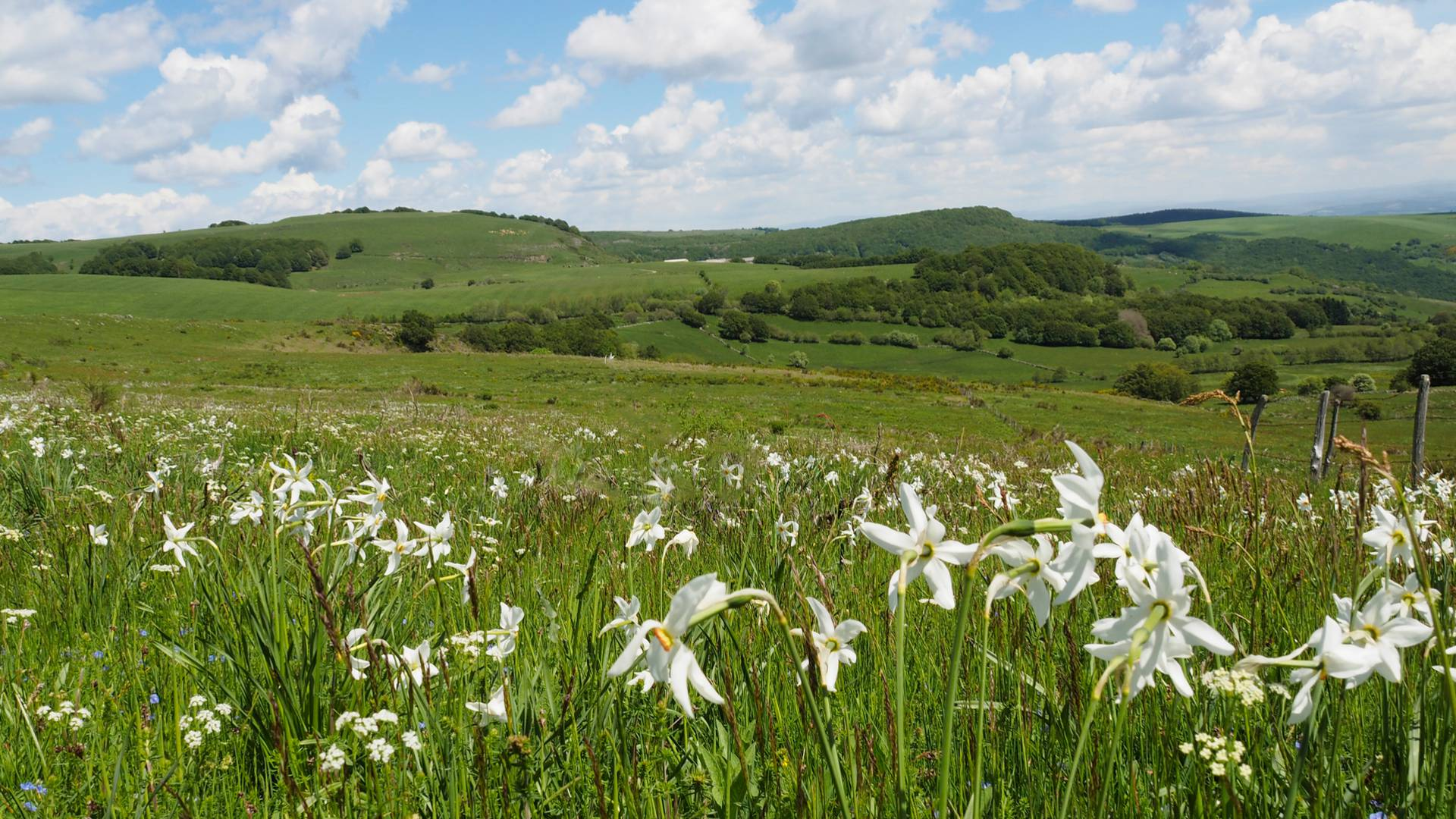 A field of narcissus on the Aubrac mountains