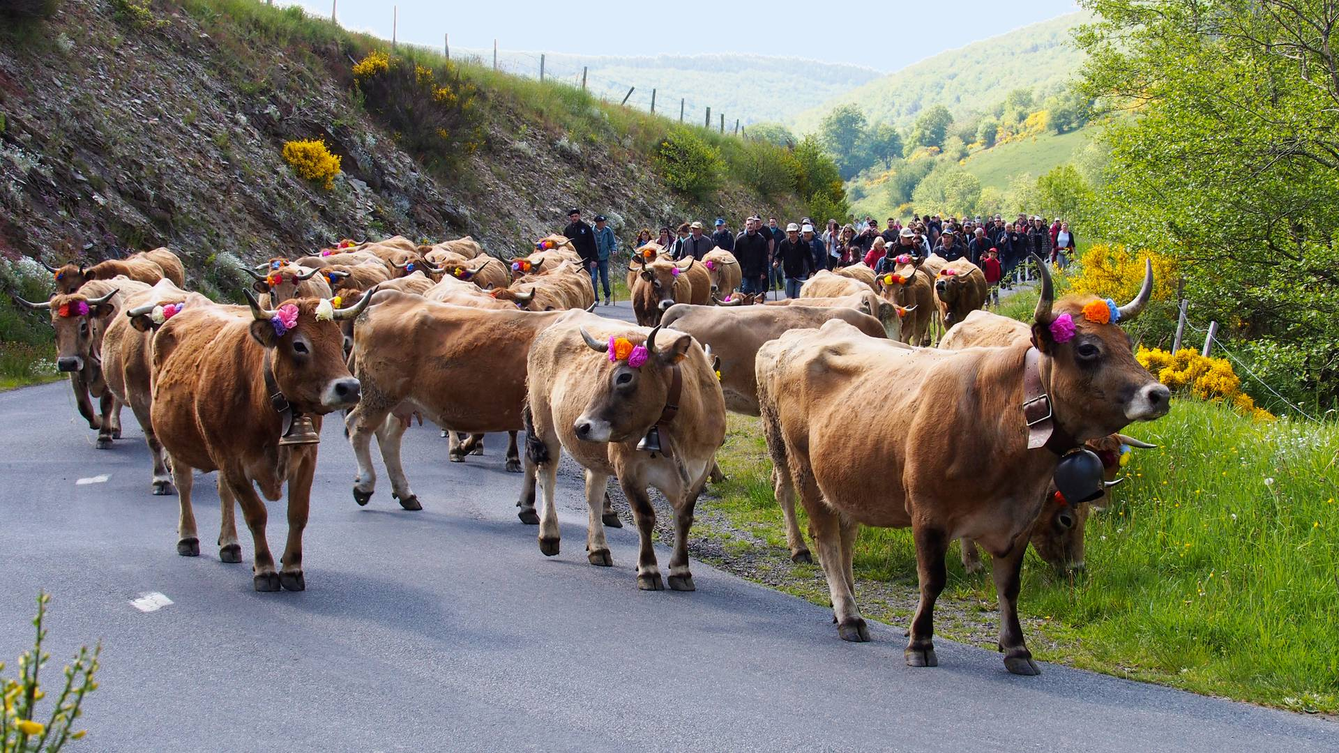 Aubrac cows arrival at Bonnecombe pass in the Aubrac mountains