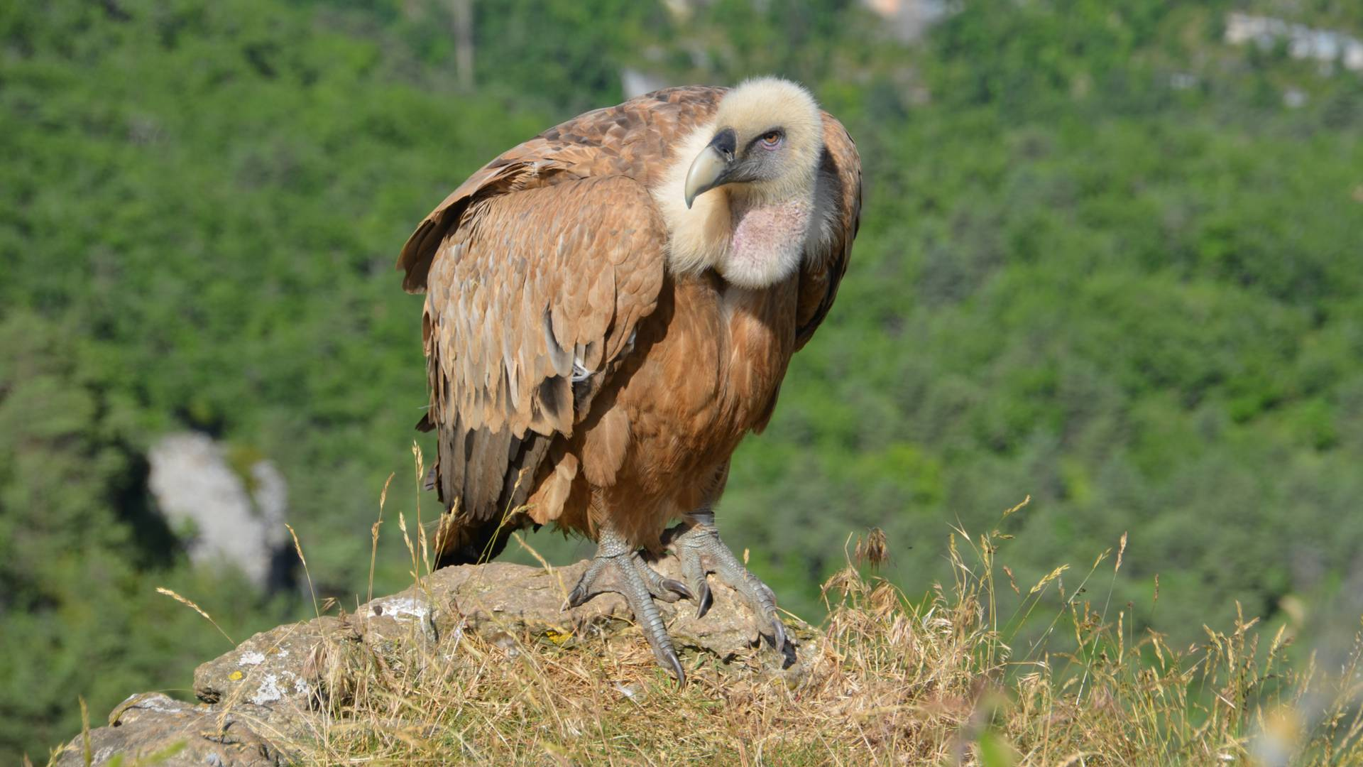 A griffon vulture overlooking the Tarn river Canyon