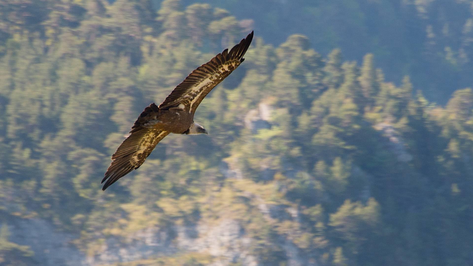 Un vautour fauve surplombant les Gorges du Tarn.