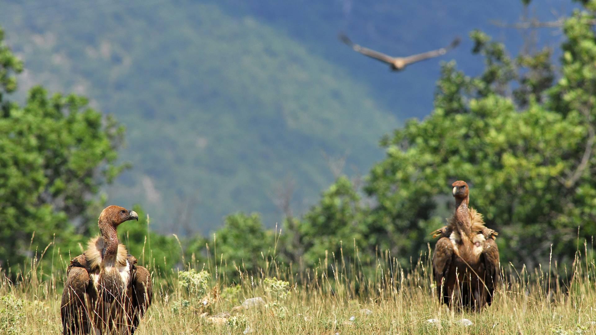Deux vautours fauve posés sur le Causse Méjean, à deux pas des Gorges du Tarn