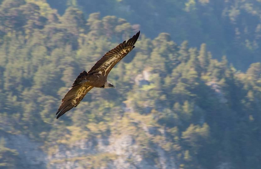Un vautour fauve qui plane sur les Gorges du Tarn et de la Jonte