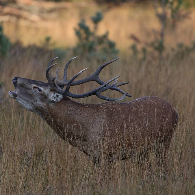 A stag hoaring on the Aubrac plateau