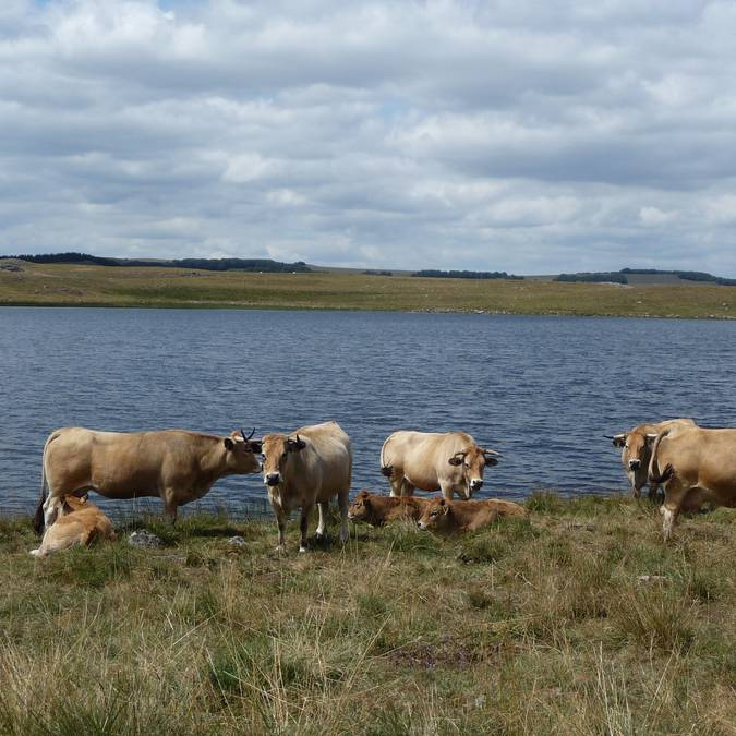 Herd of Aubrac cows in front of Saint-Andéol lake